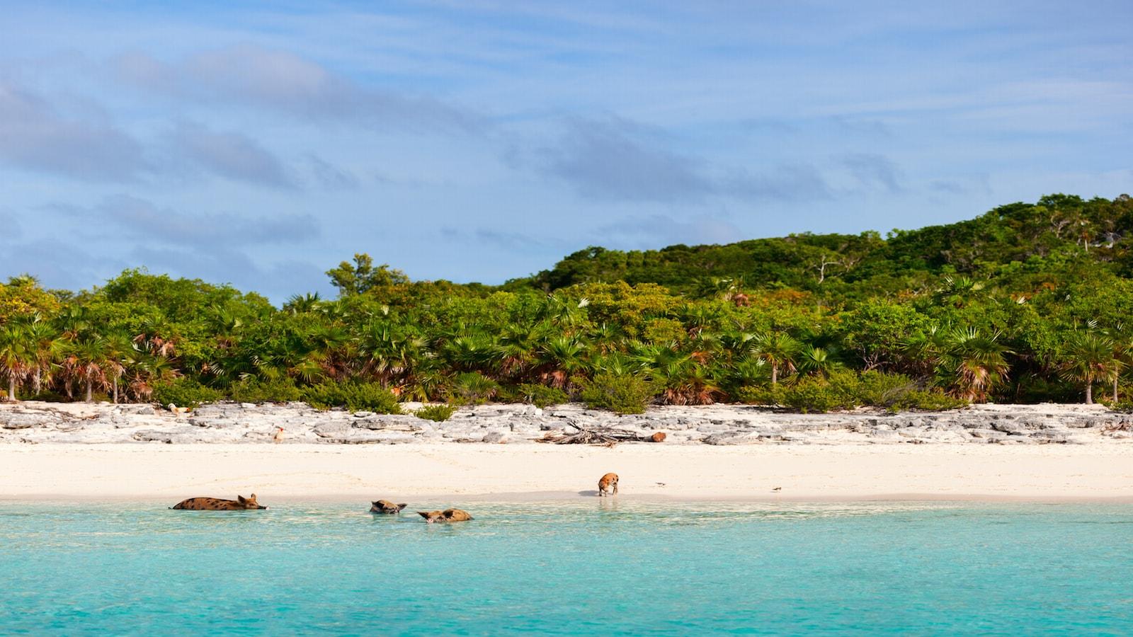 Visit the swimming pigs of the Big Major Cay Bahamas - IYC